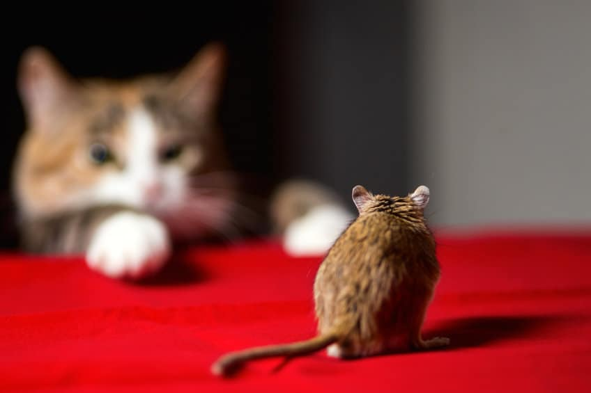 Cat-staring-down-mouse
